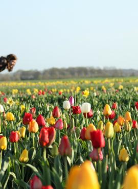 Tulpen plukken in Zeeland